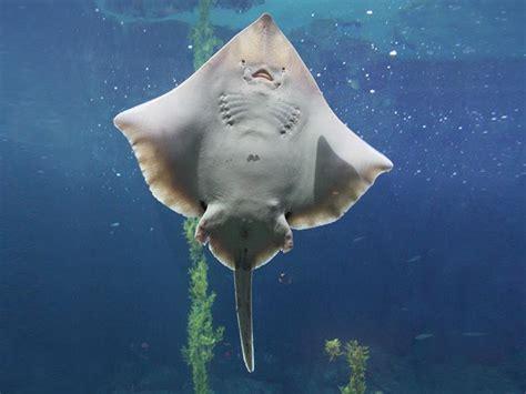 big skate sandy seafloor fishes raja binoculata