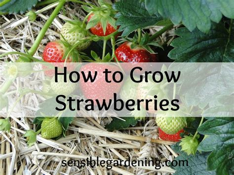how to grow strawberries how to plant and grow strawberries sensible gardening and living