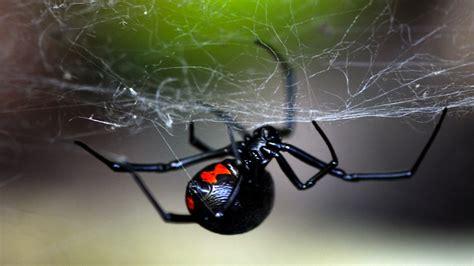 dangerous black widow spider pictures weneedfun