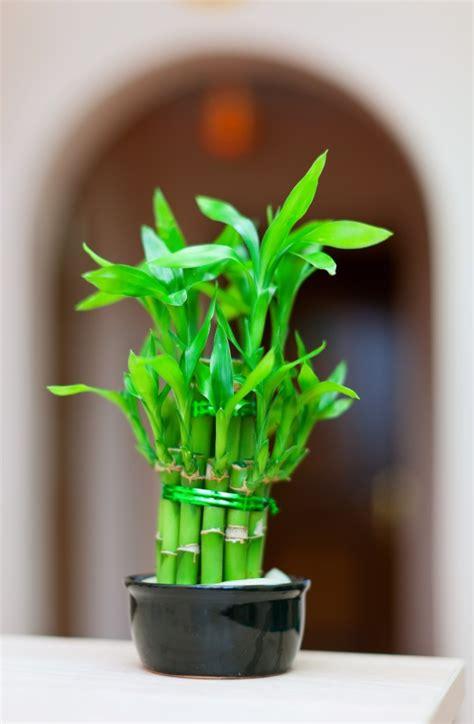 lucky bamboo plant  pot photo