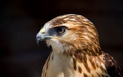 Hawk Palette Birds Viewing Tags Wallpapersafari