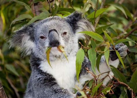 habitat si e social nudíte se chyťte si medvídka koalu láká brity austrálie