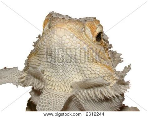 Bearded Shedding by Shedding Bearded Stock Photo Stock Images Bigstock
