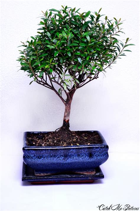 bonsai creation fiche dentretien du myrte commune