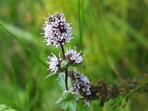 Mentha × piperita - Peppermint | World of Flowering Plants