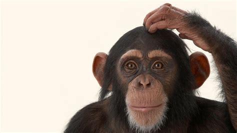 Human-Chimpanzee Thinking