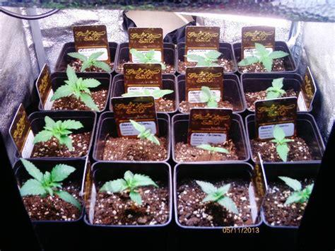 quel terreau pour cannabis interieur limiter la taille des pots permettra de limiter la hauteur finale de nos plantes de cannabis