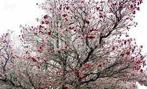 Baum Mit Roten Blättern : kostenloses foto baum mit roten fr chten ~ Eleganceandgraceweddings.com Haus und Dekorationen