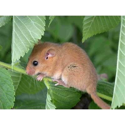 Muscardinus avellanarius (Hazel mouse) (Common dormouse)