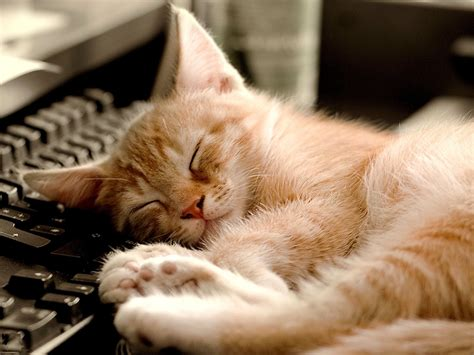 Sleeping Catcute Little Kitty Cat Living Wallpaper