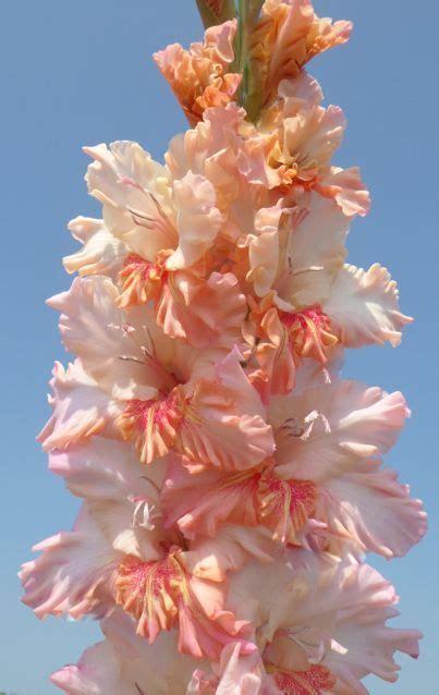 Of The Gods Flowers by Gladiolus God S Gift Gladiolus X Hortulanus Glorious