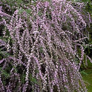 Pflanzkörbe Für Blumenzwiebeln : naturagart shop schmetterlingsflieder h ngend online ~ Lizthompson.info Haus und Dekorationen