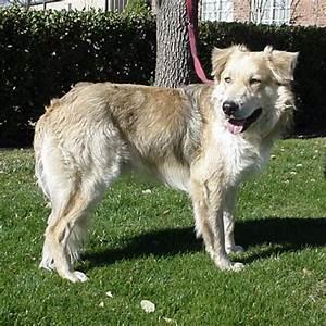 Torino - Golden Retriever   Humane Society of Dallas County