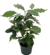 They usually contain two flat seeds, the coffee beans. Arabica Coffee Plant   eBay