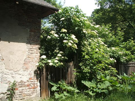 vlierbes in tuin vlier sambucus nigra annetannes tuin