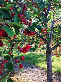Michigan U0026 39 S Tart Cherries  So Proud