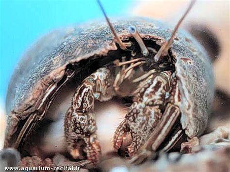 bernard l hermite aquarium recifal un bernard l ermite dans les aquariums r 233 cifaux et marins