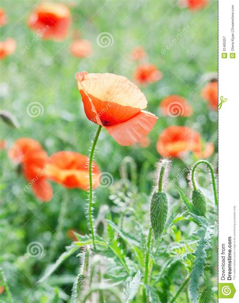poppy bloom time the poppy stock image image of field scene up summer 31465057