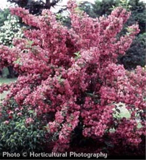 fashioned flowering shrubs buy affordable old fashioned weigela shrub weigela florida