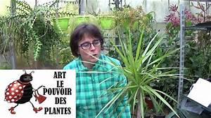 Bouture Plante Verte : conseils jardinage dracaena marginata comment faire une bouture plante verte youtube ~ Melissatoandfro.com Idées de Décoration