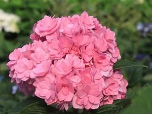 Hortensie Als Zimmerpflanze : gef llte ballhortensie you me 39 together 39 rosa ~ Lizthompson.info Haus und Dekorationen