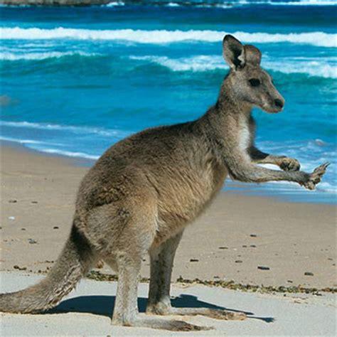 kangaroo  pics quiz answers  pics cheats