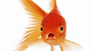 We Now Have A Shorter Attention Span Than A Goldfish
