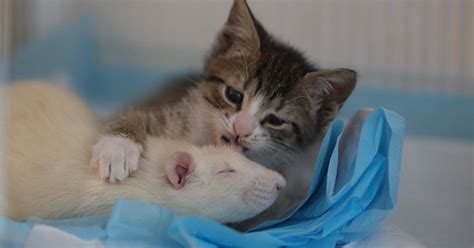 Fearless Rats Are Caring For Orphan Kittens At This