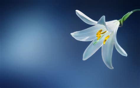 flower lily lilium candidum  photo  pixabay