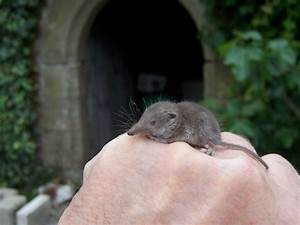 Etruscan Shrews Will Blow Your Mind Featured Creature