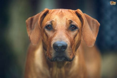 rhodesian ridgeback dog breed health dog breeds picture