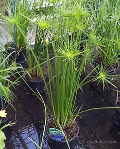 Bouture Plante Verte : plante mergentes le papyrus se bouture tr s facilement en plongeant t te en bas dans ~ Melissatoandfro.com Idées de Décoration