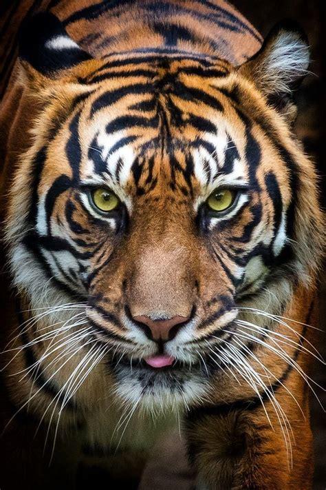 wild catface images  pinterest cat face