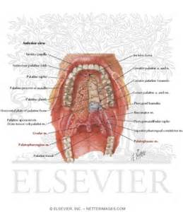 Roof of Mouth Oral Cavity Anatomy