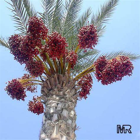 phoenix dactylifera date palm toptropicalscom