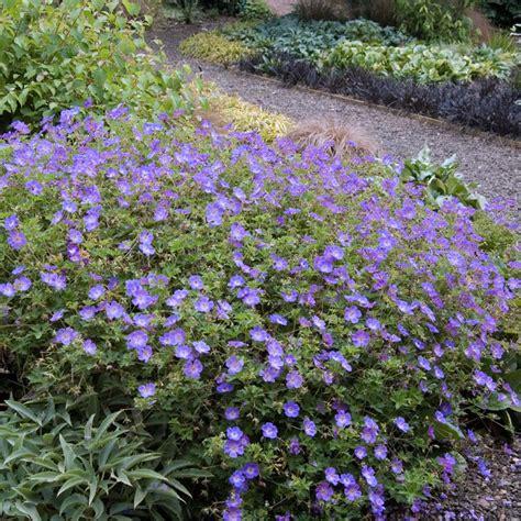 perrenial ground cover sun perennial shrubs 28 images purple perennial ground cover edge or as a small scale