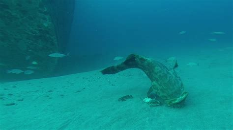 goliath grouper diet spearboard spearfishing crabs research menu