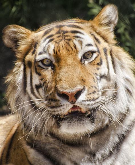 Siberian Tiger New User