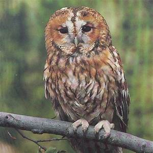Tawny Owl | Animal Wildlife