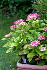 Pflanzen Kübel : hortensien hydrangea pflanzen und pflege ~ Pilothousefishingboats.com Haus und Dekorationen