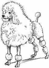 Poodle Coloring Pages Toy Printable Drawing Poodles Line Google Drawings Psf Clipart Sketches Clip Getdrawings Drawn Getcolorings Library Kr Illustration sketch template