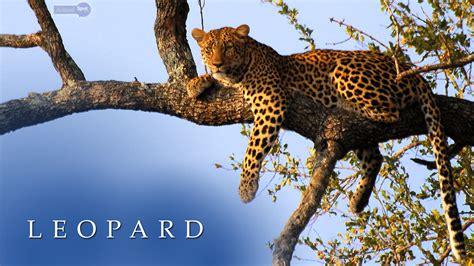 Leopard Animal Wallpaper - leopard wildlife wallpapers 41 wallpapers wallpapers 4k