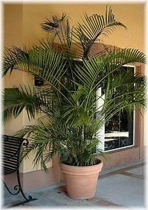 Schöner Garten Shop : schmetterlings palme areca palme chrysalidocarpus lutescens im mein sch ner garten shop mein ~ Eleganceandgraceweddings.com Haus und Dekorationen