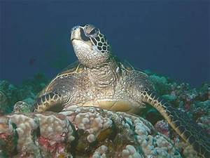 Green Sea Turtle, Sea Species, Sea life, Sea habitat, Sea ...