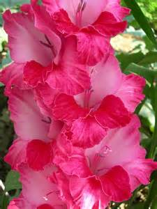 Gladiolus August Birth Month Flower