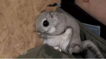 Squirrel Flying Siberian Gifs Japanese Momonga Dwarf