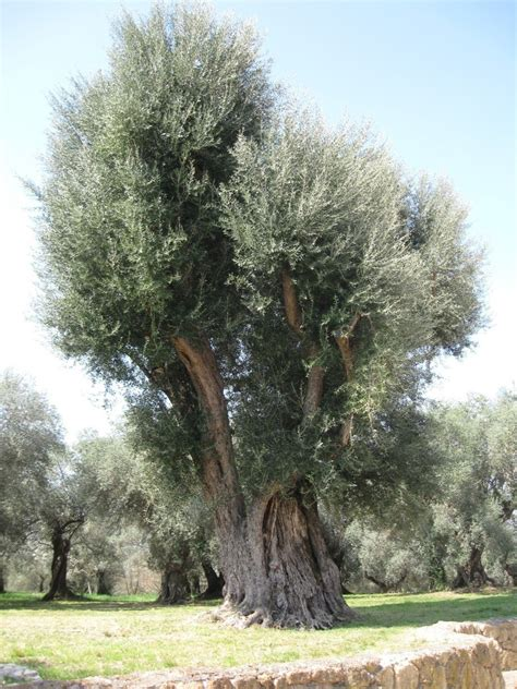 how much is an olive tree villa adriana tivoli italy according to the gardener this was