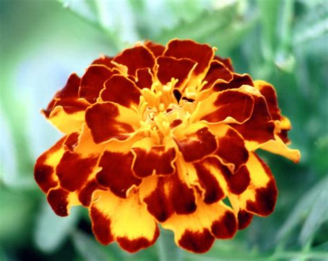 pictures of marigold flowers flowers colores marigold flower
