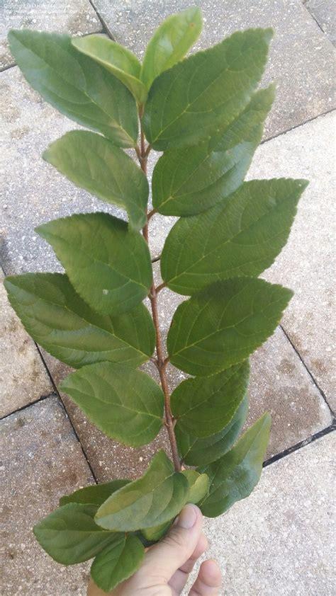 Plant Identification Evergreen Shrub Serrated Opposite