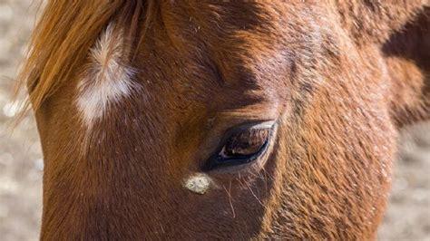 equines sarkoid hauttumor beim pferd tiergesundde